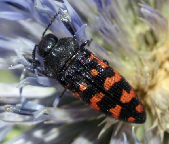 Acmaeodera pulchra 4649447362_cf89bc66b5_o
