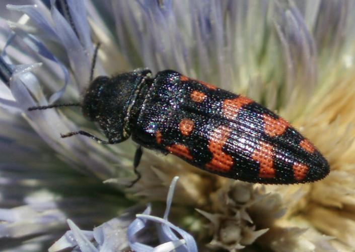 Acmaeodera pulchra 4649447444_450d53bbd6_o