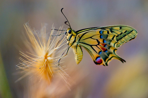 Papilio Machaon #Explore