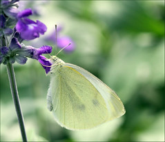 nectar(0.0), leaf(0.0), plant(0.0), colias(0.0), arthropod(1.0), pollinator(1.0), animal(1.0), moths and butterflies(1.0), butterfly(1.0), flower(1.0), nature(1.0), invertebrate(1.0), macro photography(1.0), flora(1.0), green(1.0), fauna(1.0), cabbage butterfly(1.0), close-up(1.0), plant stem(1.0), petal(1.0),