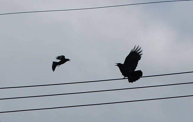 Raven vs crow vs grackle - photo#30
