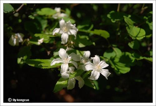【图】虎耳草科溲疏属大花溲疏