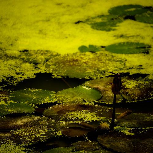 sony α 900 α900 蜻蜓 dragonfly 昆蟲 insect 蜻蛉 odonata 台灣 taiwan 新竹縣 hsinchu 新埔鎮 新埔 sinpu hsinpu 九芎湖休閒農業區 照門 九芎湖