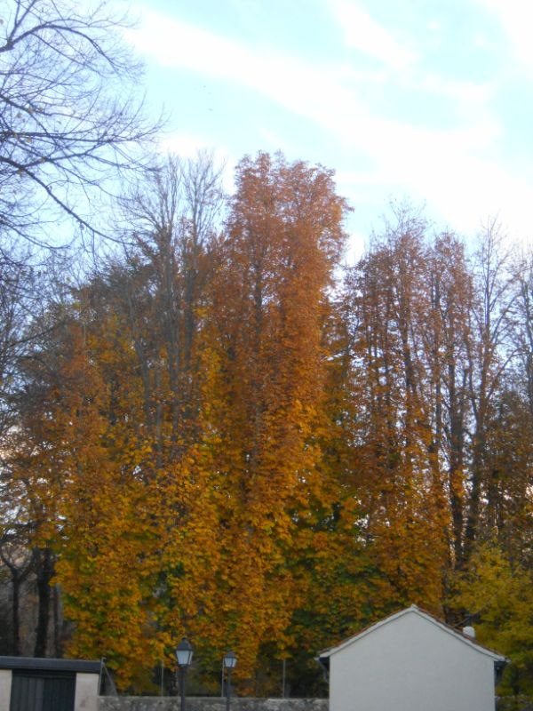 Chopo en otoño