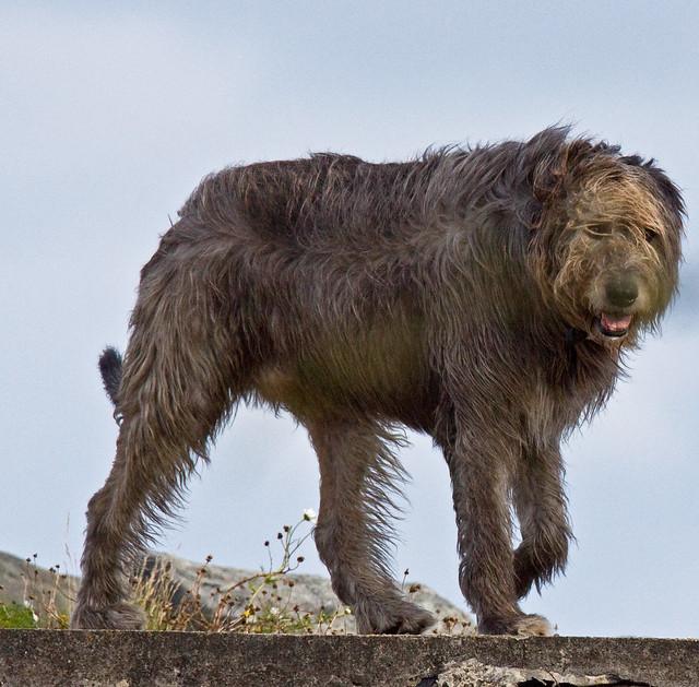 IMG_2349-Edit Irish Wolf Hound | Flickr - Photo Sharing!