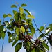 Elaeocarpus bifidus