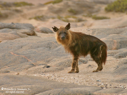 Brown Hyena plying the beaches of the Skeleton Coast of Namibia 103_0379_RJ