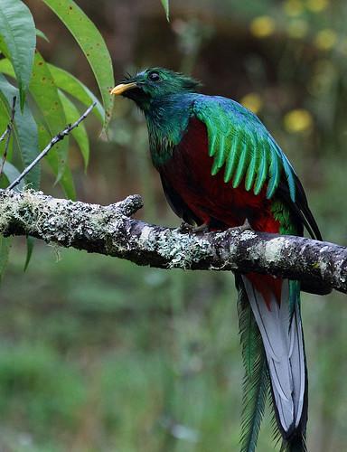 Resplendent Quetzal, San Gerardo de Dota