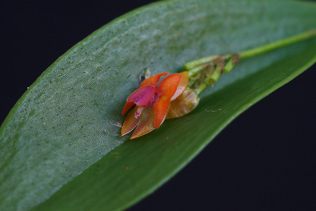 Lepanthes fimbriata