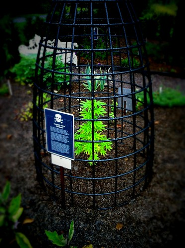 Cannabis sativa, in the poison garden behind Castle Blarney.