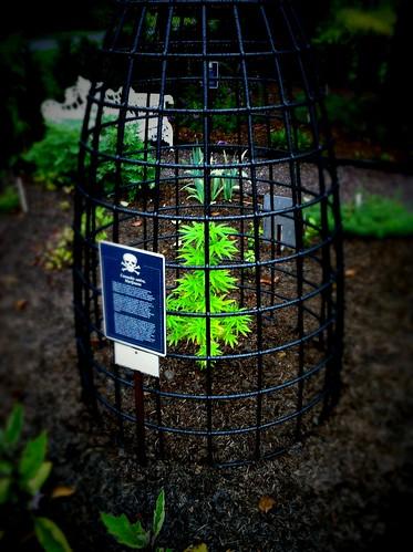 Cannabis sativa, in the poison garden behind Castle Blarney.