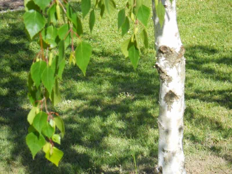Betula alba tronco 2