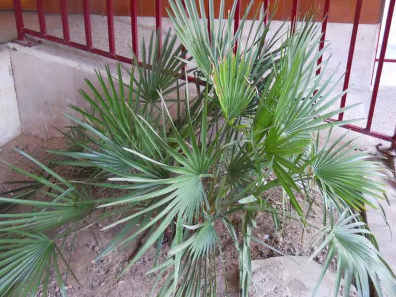 Livistona australis 2