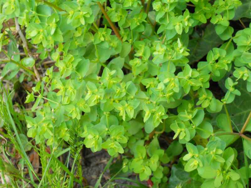 Jardineros en acci n euphorbia lathyris for Planta decorativa toxica