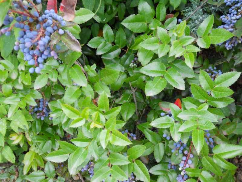 Mahonia japonica 5