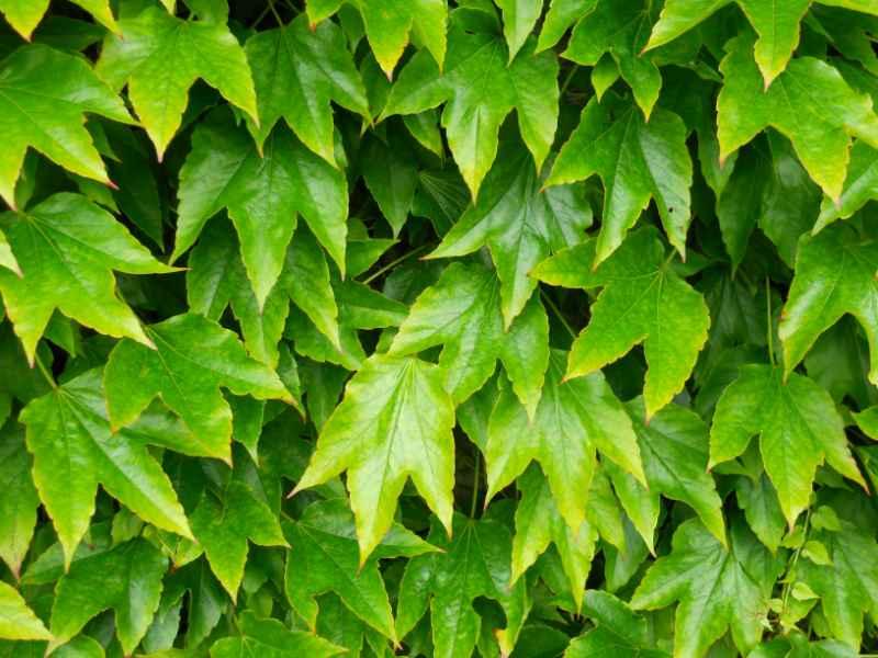 Parthenocissus tricuspidata 'Green Spring' 2