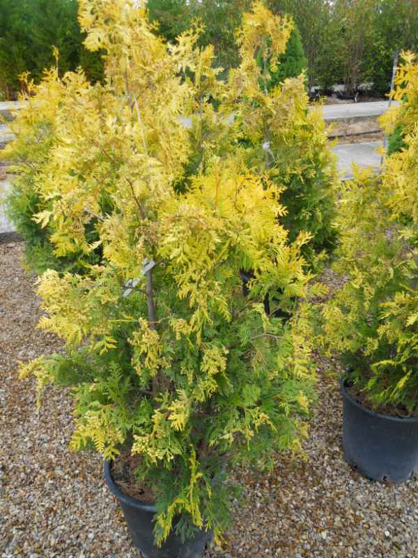 Thuja occidentalis 'Yellow Ribbon' v 1