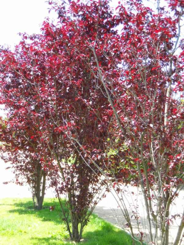 Prunus cerasifera 'Nigra' v 4