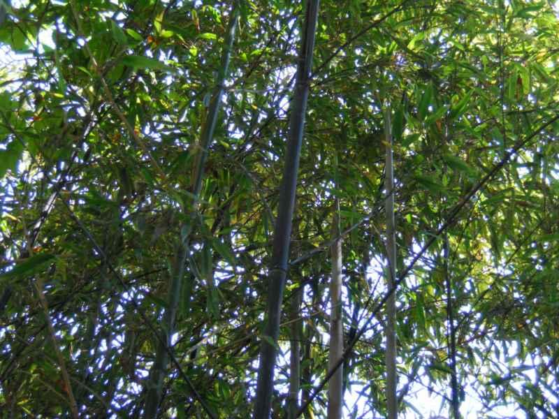 Phyllostachys nigra 'Munro' 2