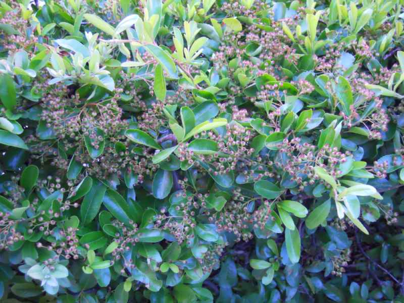 Pyracantha 'Mohave' 3