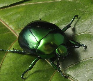 Metallic green beetle | Macraspis sp.