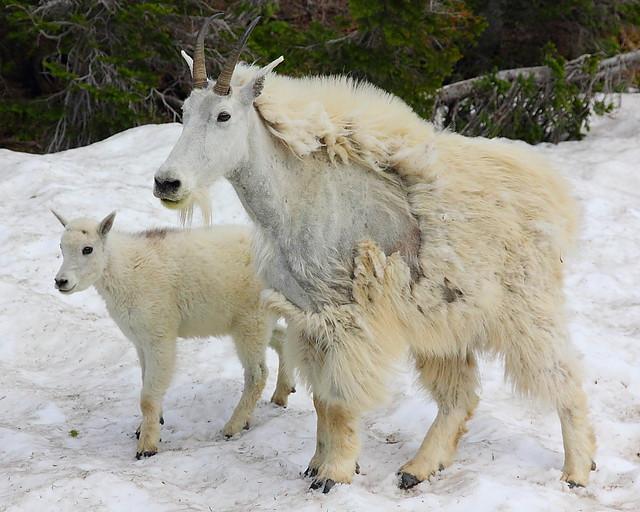 IMG_4644 Mountain Goat Nanny and Kid, Glacier National Park