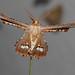 Small photo of Coenina poecilaria (Geometridae)