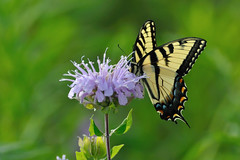 Eastern Tiger Swallowtail DSC_7605 by Mully410 * Images