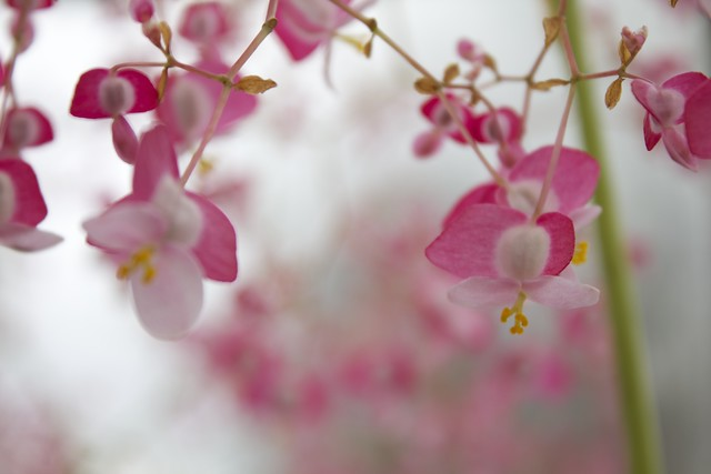 Blurry Pink Flowers