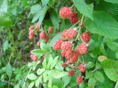 tayberry(0.0), shrub(0.0), flower(0.0), crataegus pinnatifida(0.0), schisandra(0.0), blackberry(1.0), berry(1.0), red mulberry(1.0), wine raspberry(1.0), produce(1.0), loganberry(1.0), fruit(1.0), food(1.0), boysenberry(1.0), dewberry(1.0),