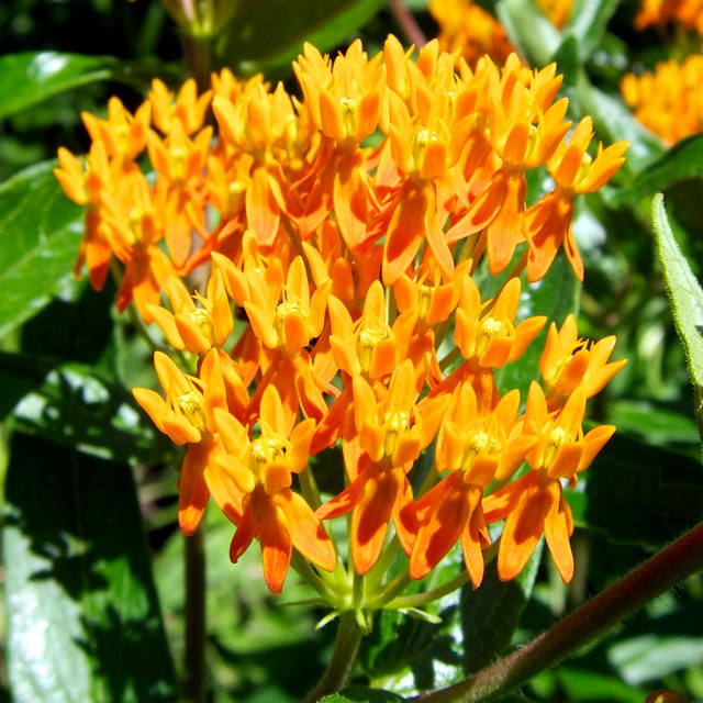 Asclepias tuberosa 蝴蝶乳草花 | Flickr - Photo Sharing!