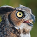 Great Horned Owl (Bubo virginianus) by ER Post