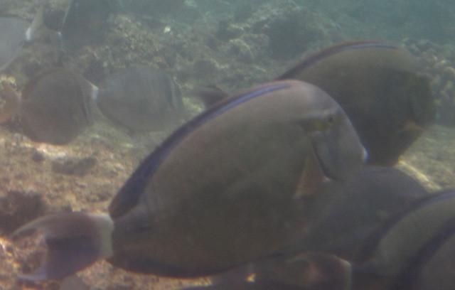 Acanthurus blochii