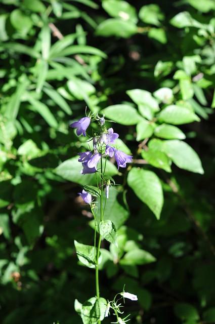 Campanule feuilles de p cher 2 1 campanula persicifolia flickr photo sharing - Campanule a feuilles de pecher ...
