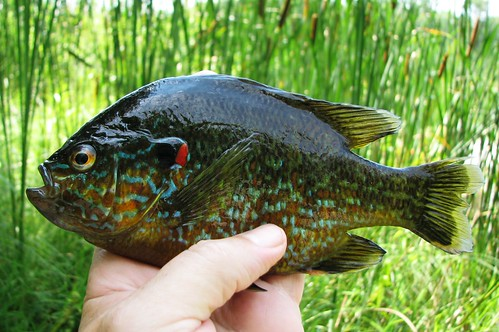 Sun perch fish for Perch fish facts