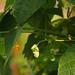 'Mr Tungs' Pole Bean Flower by Meighan