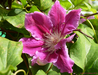 Clematis in Colour