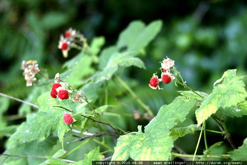 ripe thimble berries