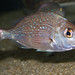 Small photo of Snapper (juvenile) Pagrus auratus