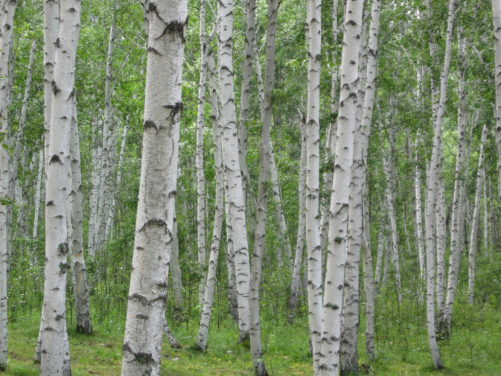 white birch tree Colouring Pages