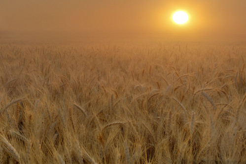 Palouse Wheat Harvest Season Sunrise