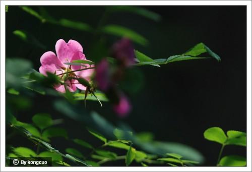 14.蔷薇科蔷薇属刺蔷薇1