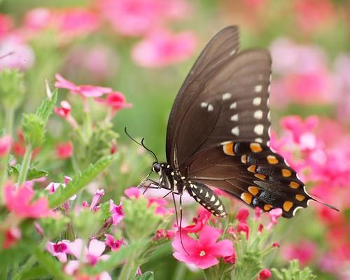 butterfly © 70300mm swallowtail spicebushswallowtail jcraulstonarboretum garyburke olympuse620