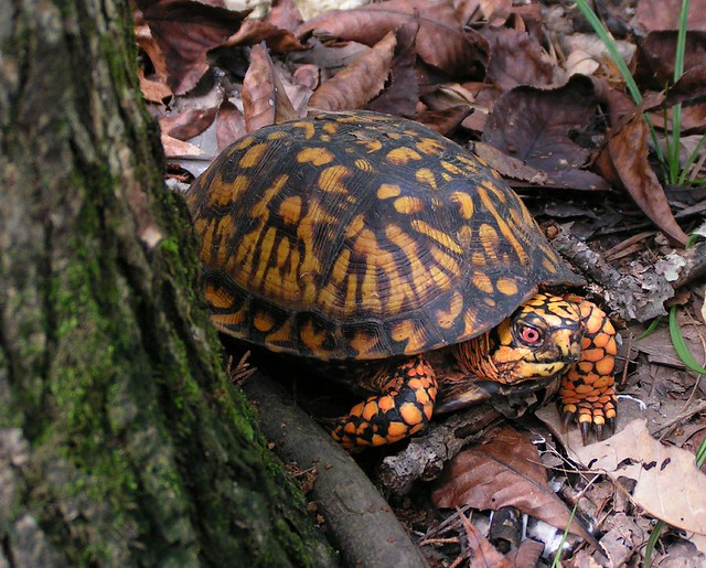 Box turtle near Couchville Lake