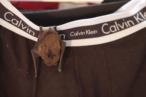A bat likes my underwear