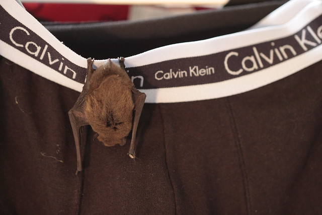 A bat likes my underwear