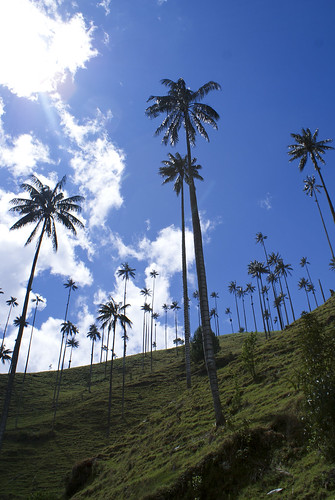 wax palms