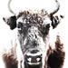 Bison bonasus by sabineroediger