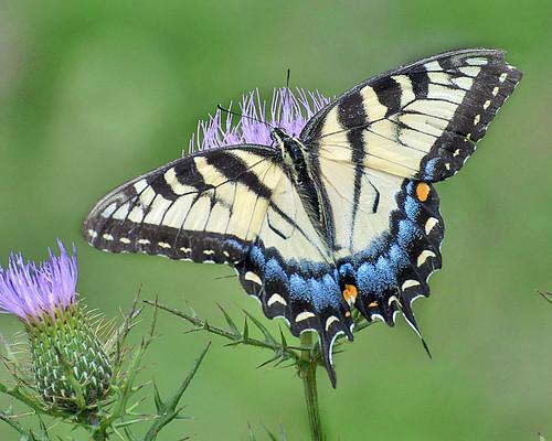 ngc shenandoahnationalpark papilioglaucus femaletigerswallowtail photobydavewendelken