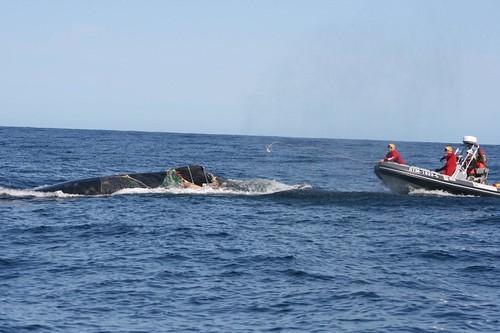 Whale entanglement Plett 104